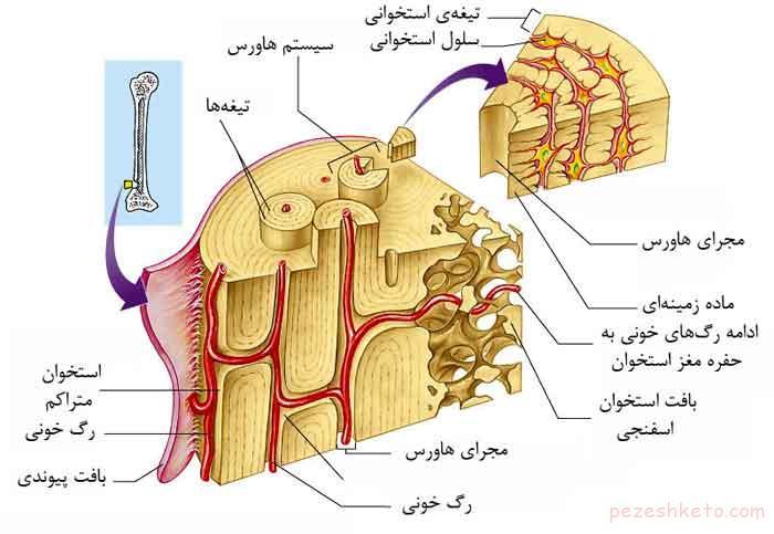 ساختار استخوانهای بدن