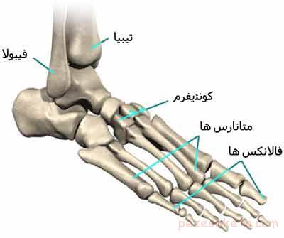 آناتومی پا چیست